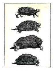 Reptiliae (tortugae)
